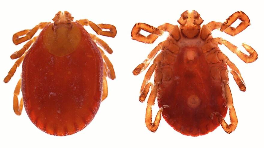 The tick <em>Haemaphysalis longicornis</em>.