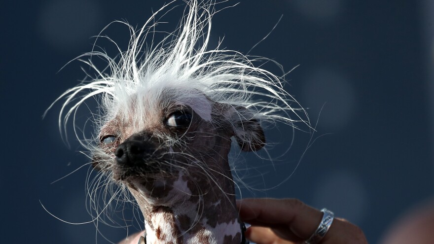 Rascal, another Chinese crested, clearly views competitors with a healthy dose of skepticism.
