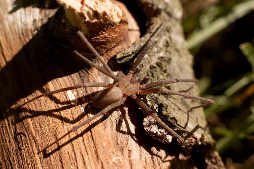 The brown recluse spider was at the center of a recent case that went all the way to the Texas Supreme Court.