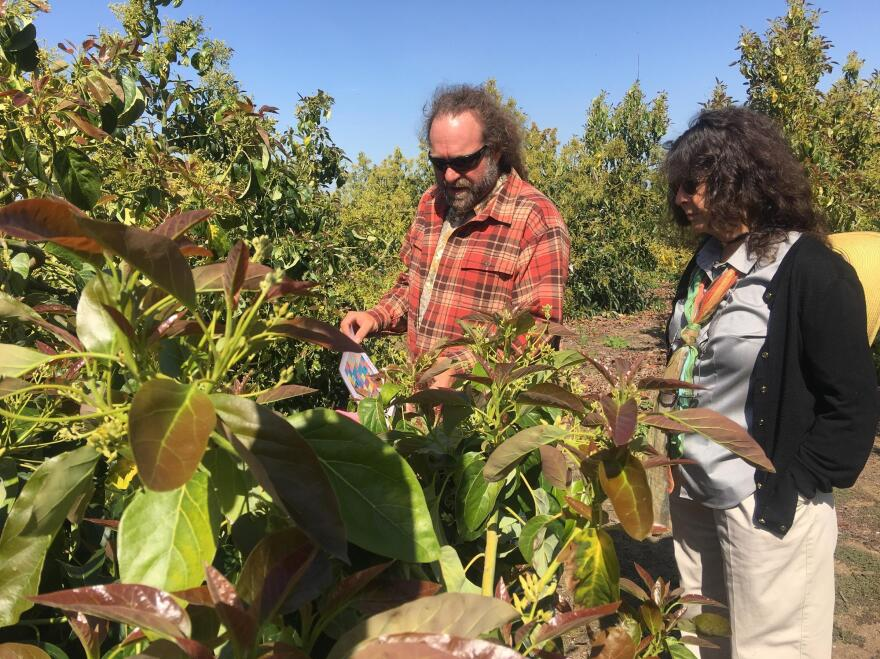 Eric Focht and Mary Lu Arpaia breed avocado trees across California. They're in search of varieties that will grow well in California's Central Valley.