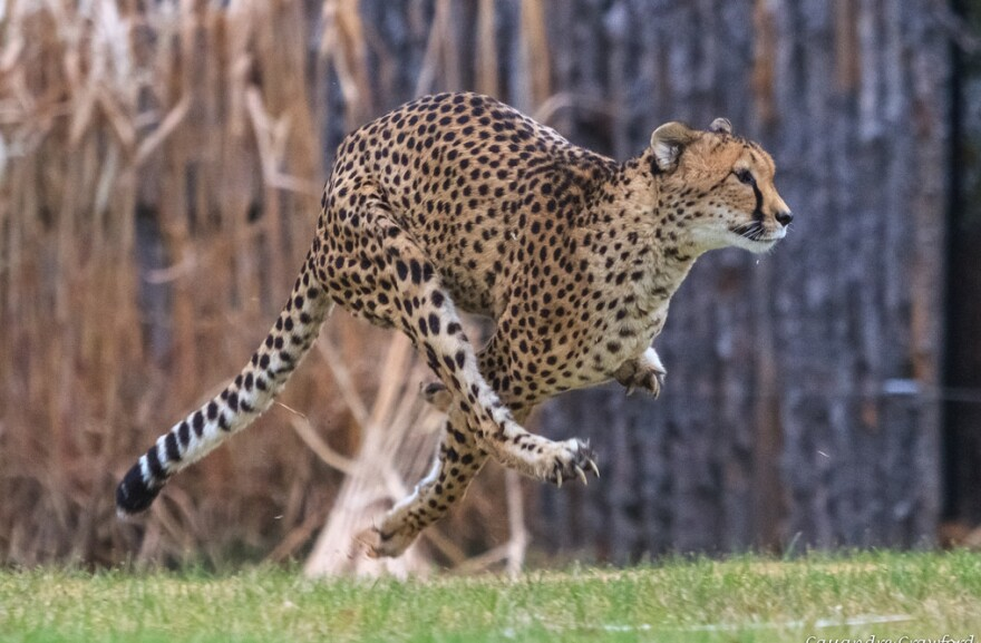 The cheetah known as Sarah or Sahara holds the record as the fastest land animal on earth. She has died at the age of 15.