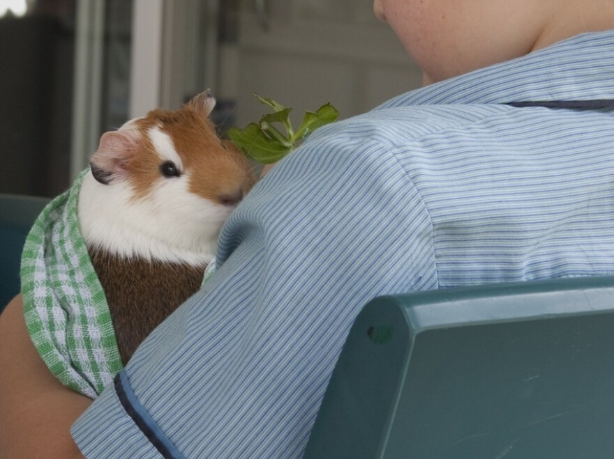 A guinea pig does its part for science and human relations by sitting on the lap of an autistic child.