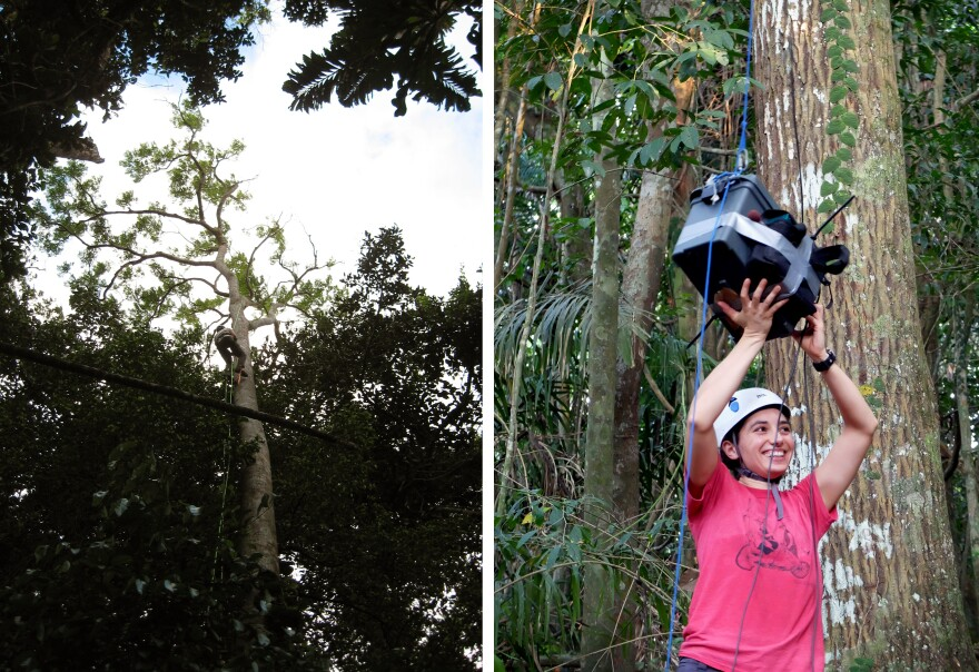 Dartmouth biologists Sharon Martinson (left) and Laurel Symes (right) planted audio recorders high up in trees to gather hours of recordings.