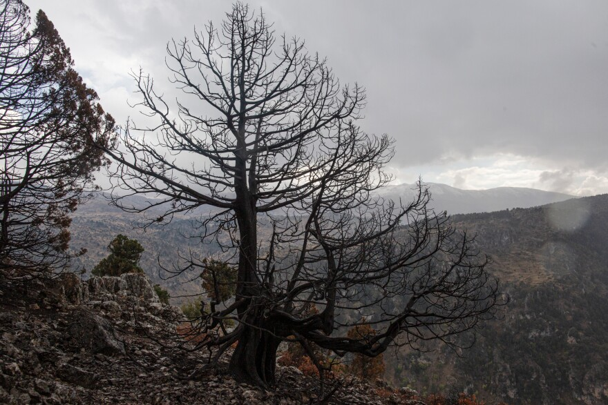A cedar tree that burned in a recent wildfire, in the Mishmish forest, Akkar, Lebanon.