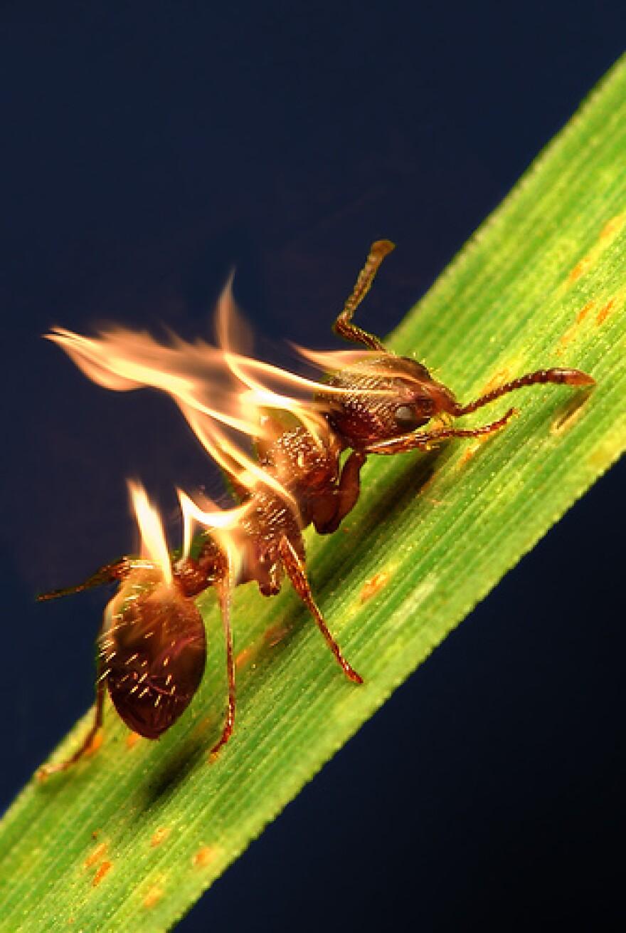 fire_ant_AZRainman.jpg
