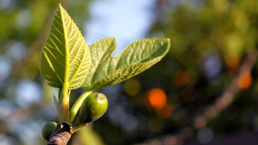 Over 90 percent of American figs are grown in California. Two growers there are trying to coax the fruit into ripeness nine months of the year and maybe more.
