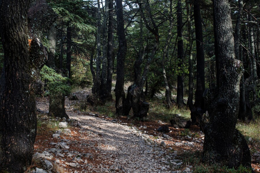 Cedar trees in the Tannourine Cedars Forest Nature Reserve, in Tannourine.