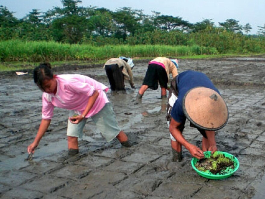 """Rice farmers in Indonesia plant rice seedlings using the """"system of rice intensification."""""""