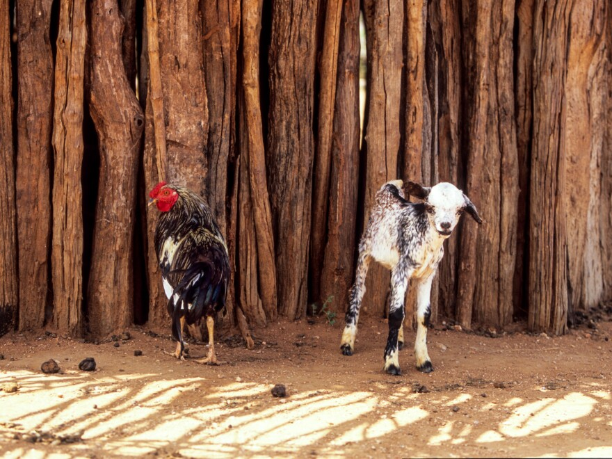 The modest proposal: Keep your daughter in school for two years and don't marry her off and you'll get a goat or two chickens. The  animals pictured above live in Ethiopia, where the strategy to stop child marriage was tested.
