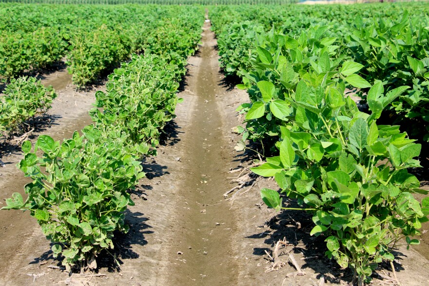 The taller soybean plants (right) are from a commercial dicamba-tolerant variety. On the left, an experimental line of soybeans showing the effects of dicamba exposure.