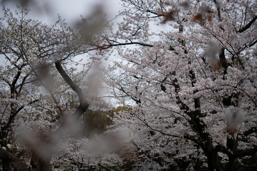 Last year the cherry blossoms drew more than 8 million foreign visitors.