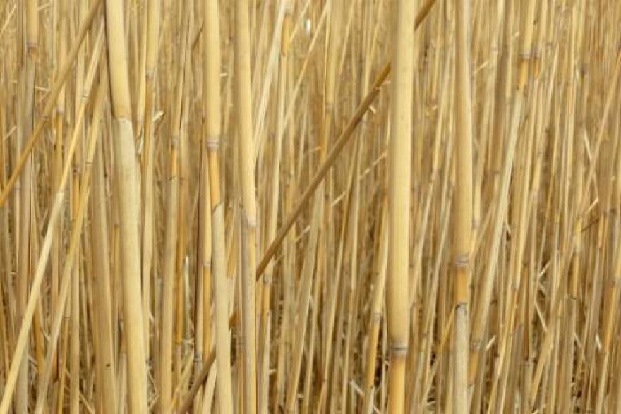 051614_miscanthus-bamboo.jpg
