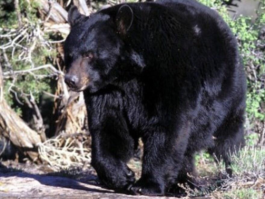 black_bear4-15-08-1-L.jpg