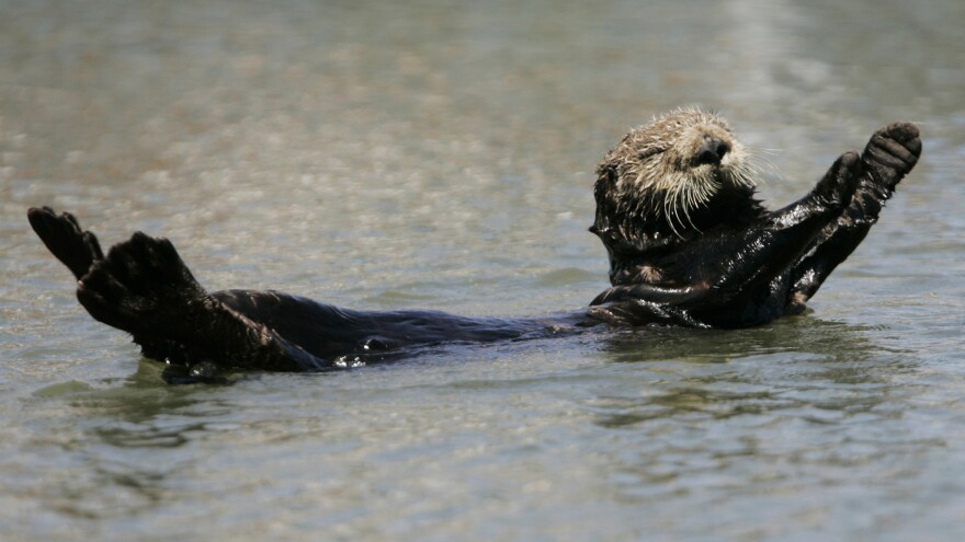 A sea otter plays in the water in Monterey, Calif.