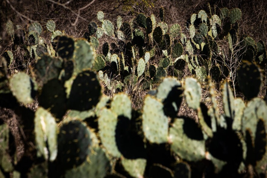A field of prickly pear cactuses.