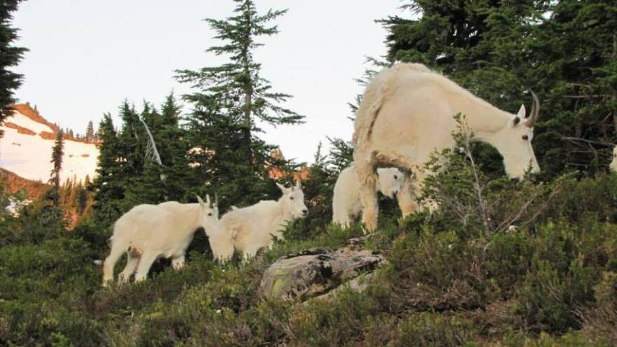 A nanny goat and her kids near a popular campsite in Olympic National Park. The National Park Service wants to move goats to the North Cascades, where they are a native species.