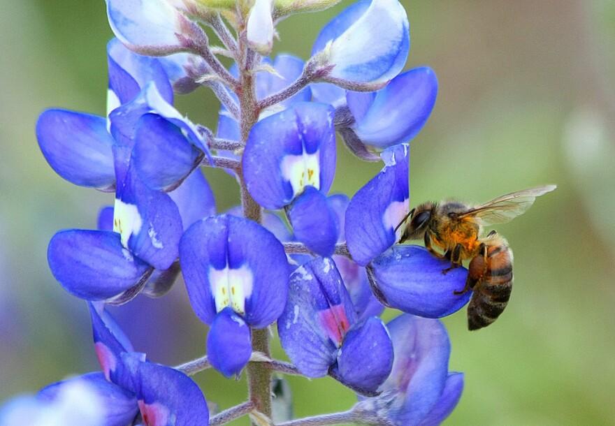 honey_bee_bluebonnet-flickr_user_TexasEagle.jpg