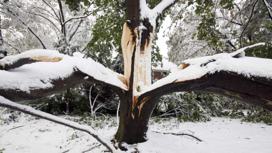 <p>This tree split in two due to heavy snow on its branches in Belmont, Mass.</p>