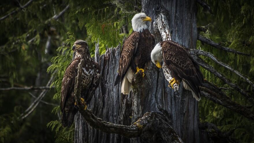 bald-eagle-3867290_1920.jpg