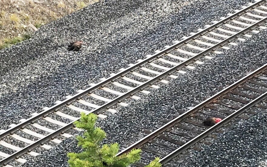 Two grizzly bear cubs killed by a train near Trego were discovered Oct. 15, 2019.