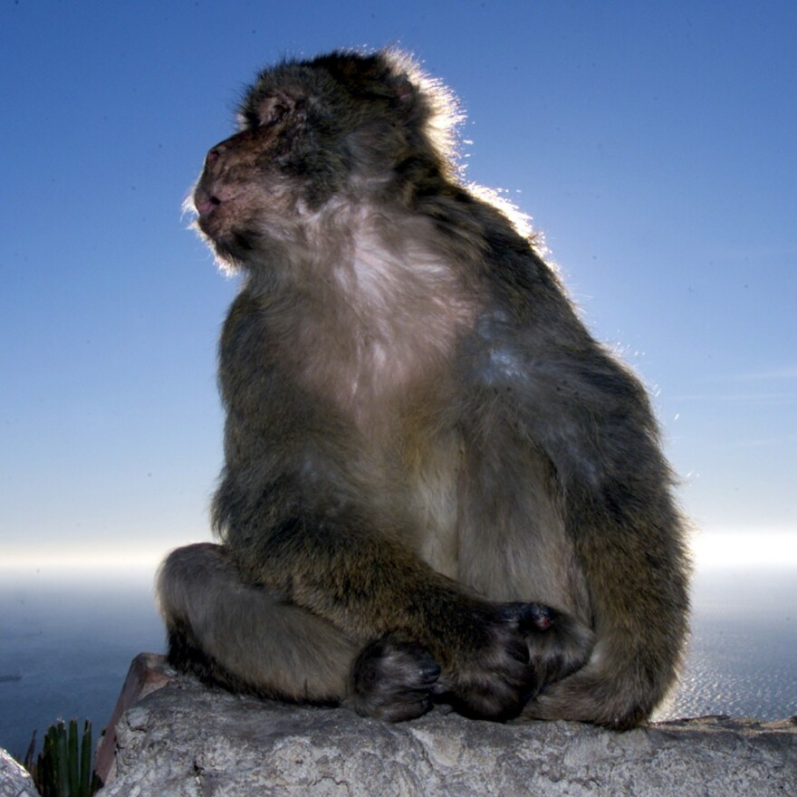 One of the Gibraltarian residents noticeably absent from the dispute: a macaque — one of the hundreds that live on the peninsula.