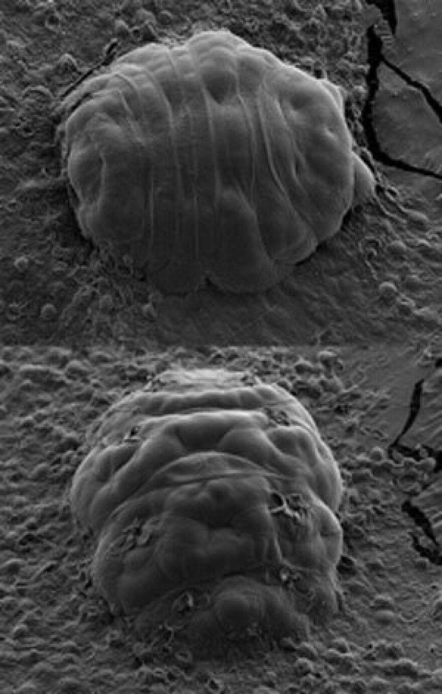 When a tardigrade is stressed, it enters a quasi-death state. The animal retracts its head and its eight legs and curls into a dried-up ball.