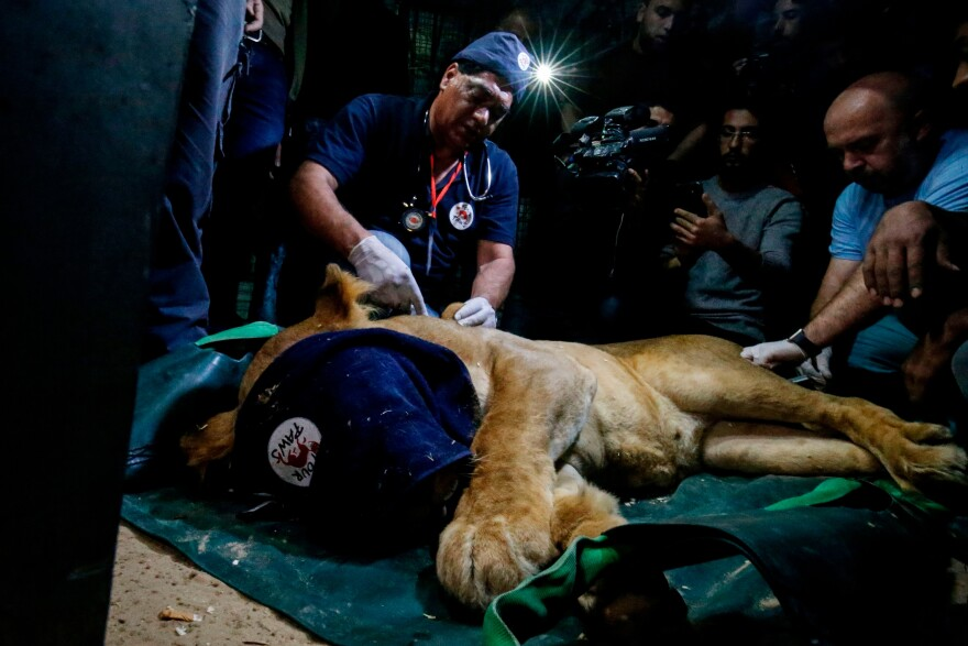 Khalil and his team sedate a lion as they prepare to evacuate the animal out of the Palestinian enclave and relocate it to a sanctuary elsewhere.