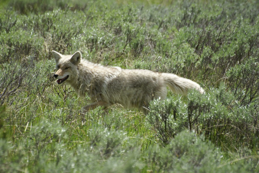 A coyote photographed in Yellowstone National Park.