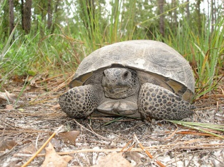7-13-19_gopher_tortoise.jpg
