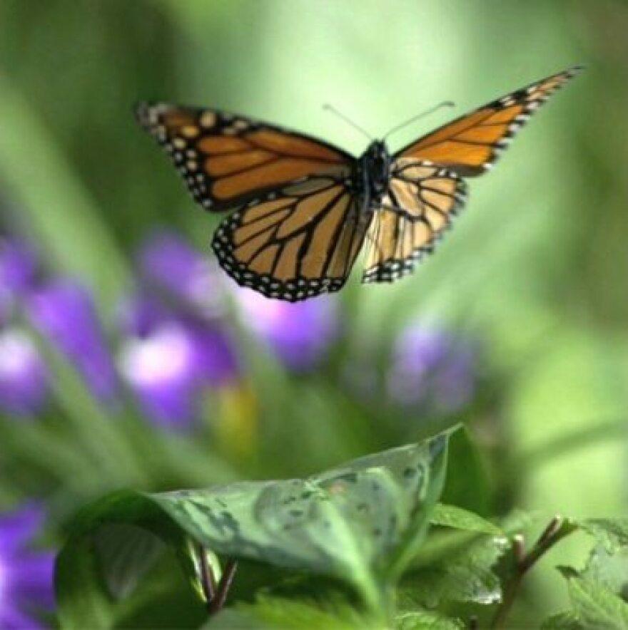 Still - Monarch in Flight - Courtesy SK FIlms- FOB - SK Films.jpeg