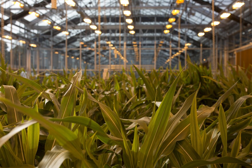 Corn stalks sit in a new greenhouse structure, which features 160,000 feet of glass at Monsanto on Oct. 28, 2016.