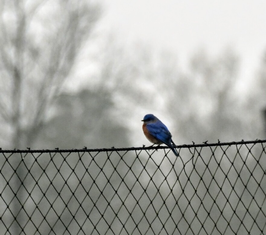 122020 Bluebird at Davidson Coll.JPG