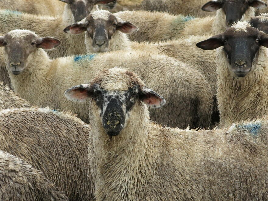 Farmers markets and demand for locally sourced food is helping sheep farmers find a niche.