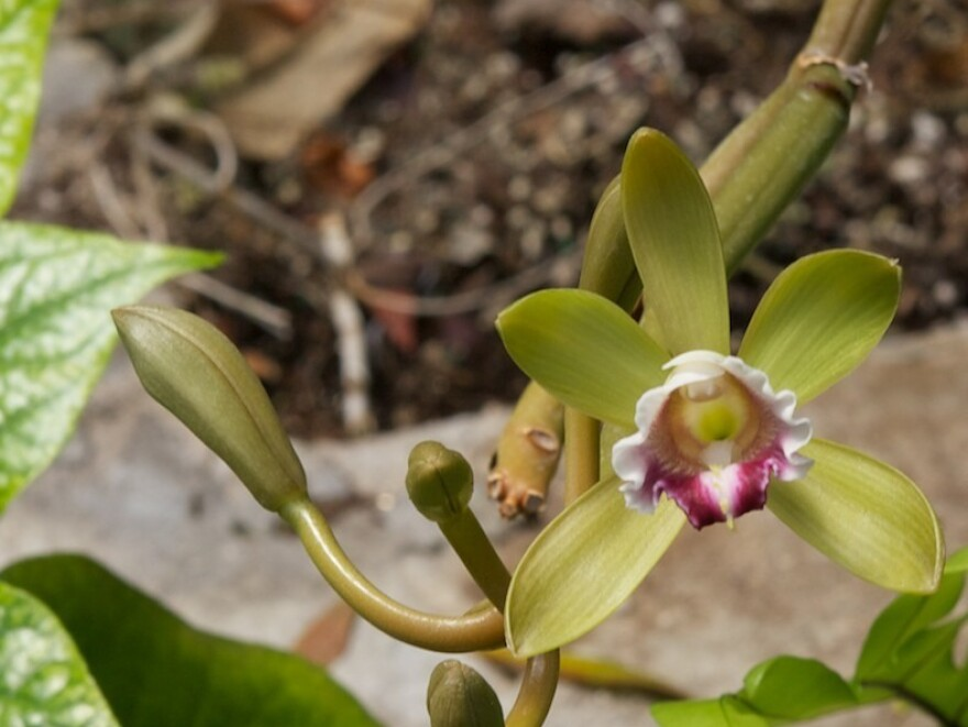 Fun fact: The vines that vanilla beans grow on also produce orchids.