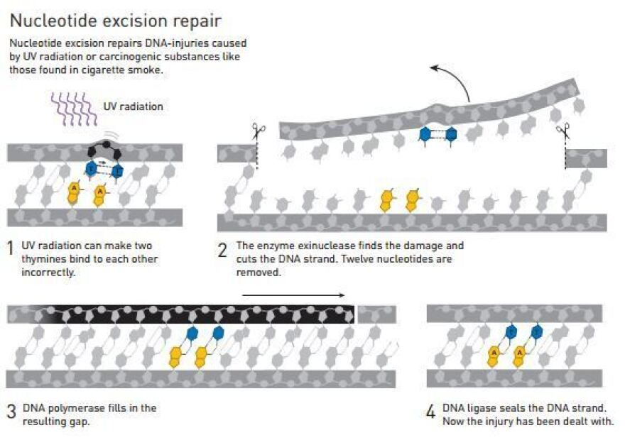 Aziz Sancar showed how cells use nucleotide excision repair to fix damage to our DNA.