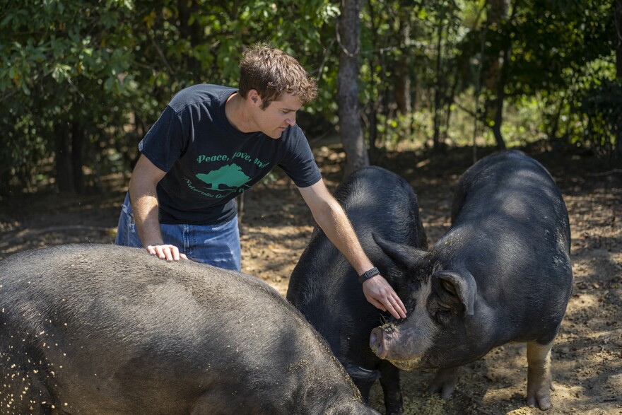 Josh Davis tends to his American mulefoot hogs on his farm in Pocahontas, Illinois on September 15, 2018.