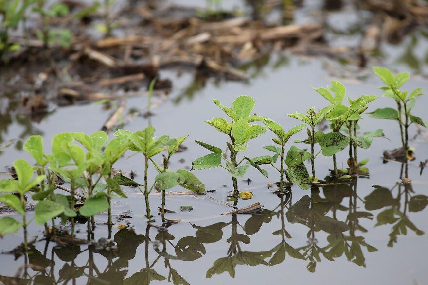 These soybean seedlings in a field near Dayton, Indiana, flooded from heavy June rains this growing season.