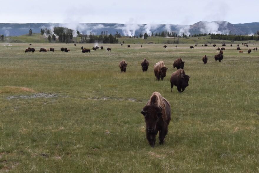 bison-yellowstone-druzin-bspr-062019.jpg