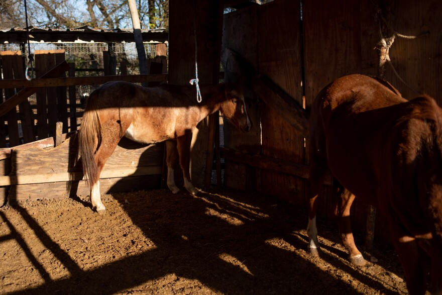 Horses are inside their stables in the neighborhood of Floral Farms. The sun is setting and is seeping in through the window cracks casting shadows.