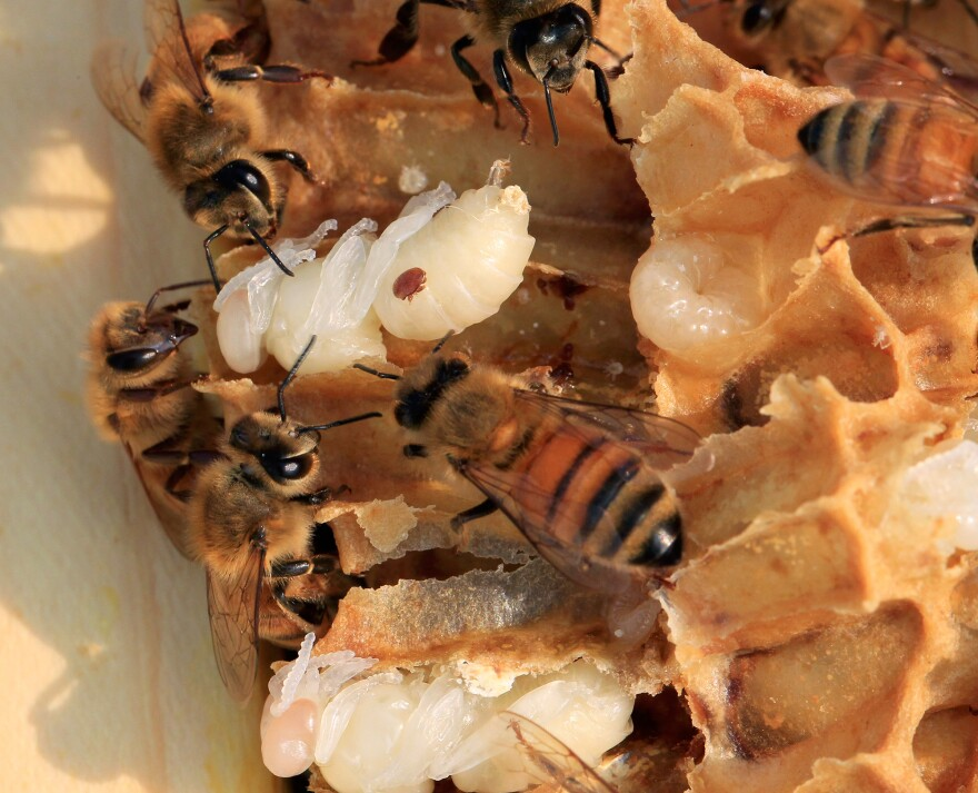 One threat to honeybees is the varroa mite, seen here invading the pupae of a developing bee. Untreated infestations will kill colonies.