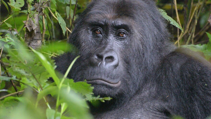 After a 77 percent population decline, the Grauer's gorilla is now on the critically endangered species list.