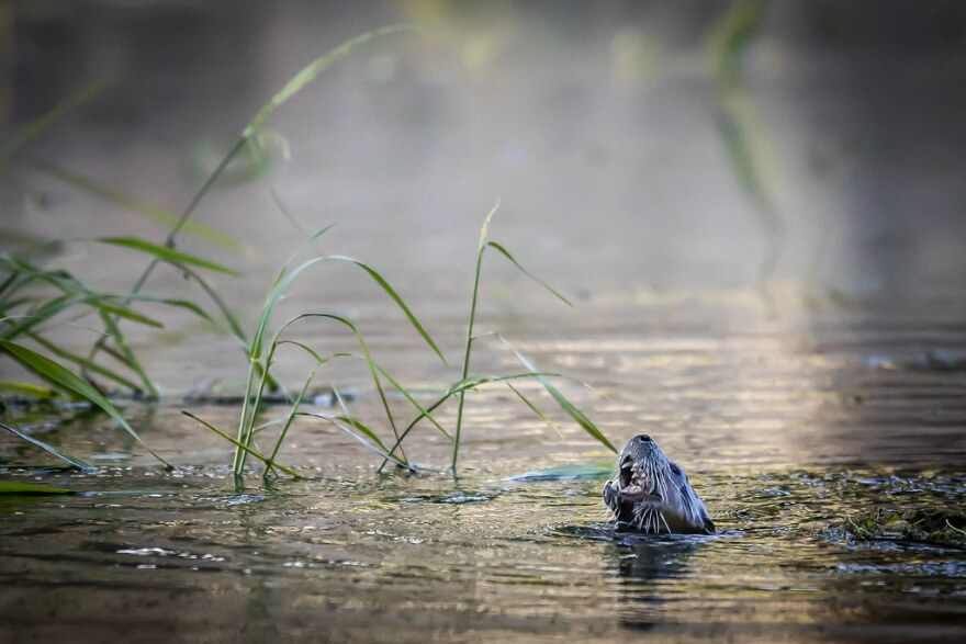An otter pokes its head out of the San Marcos River in August.