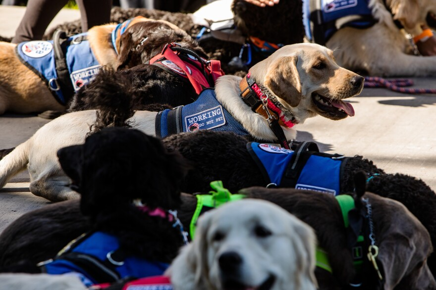 Service dogs in training at Diabetic Alert Dogs of America take part in the JDRF One Walk in Las Vegas. JDRF is a research and advocacy group dedicated to curing Type 1 diabetes.