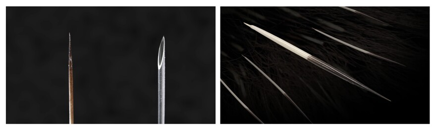Left: A microscopic image compares the size of a North American porcupine's quill tip with the tip of a narrow, 18-gauge needle. Right: In a live porcupine, the partially hidden quills usually lie flat along the herbivore's body, amidst other hairs, until and unless called into action.