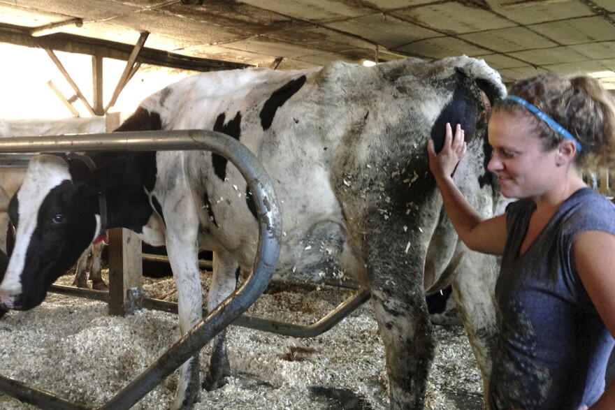 In this Sept. 2, 2015, photo, dairy farmer Jennifer Lambert works with cows at her family farm in Graniteville, Vt. The Lamberts installed two robotic milkers in 2014 for a more consistent way to milk their cows and to free more time to spend with their young son. They now are saving money on labor and their cows are producing more milk. (AP Photo/Lisa Rathke)