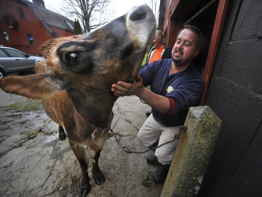 """Dan Brown pets """"Sprocket,"""" his family's 4-year-old, sole milking cow, before hosing her down at his farm in Blue Hill, Maine. Brown has become the poster child for Maine's food sovereignty movement."""