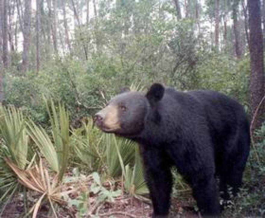 A Florida Black Bear.