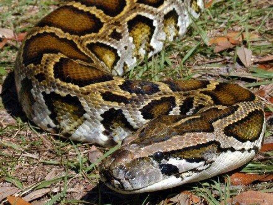 A Burmese Python.
