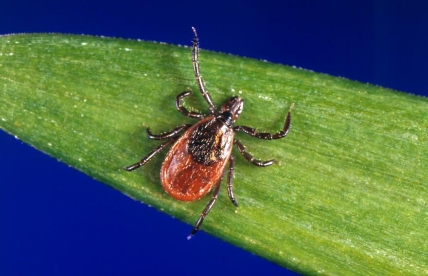 The black-legged tick, <em>ixodes scapularis,</em> can spread Lyme disease.