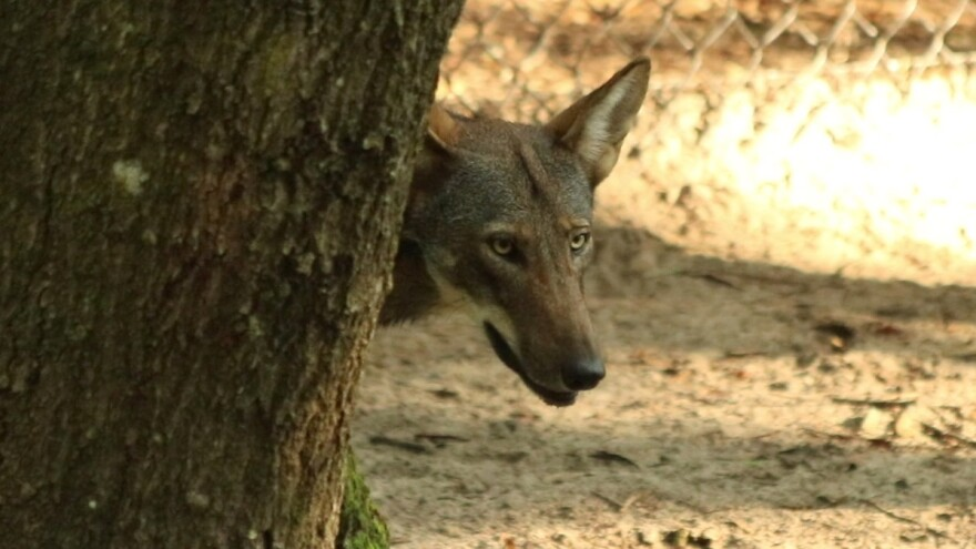 """The lone female wolf pup will be heading to New York, where she'll have a choice of mates. The Red Wolf is considered """"functionally extinct"""" and captive breeding programs are an effort to keep the species alive. (7/27/18)"""